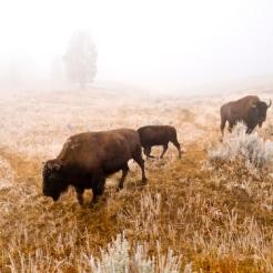 Foggy Bison