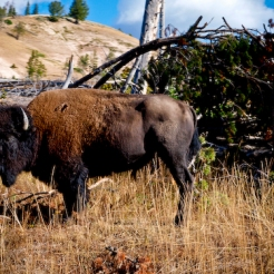 Bison outside of Lake Yellowstone